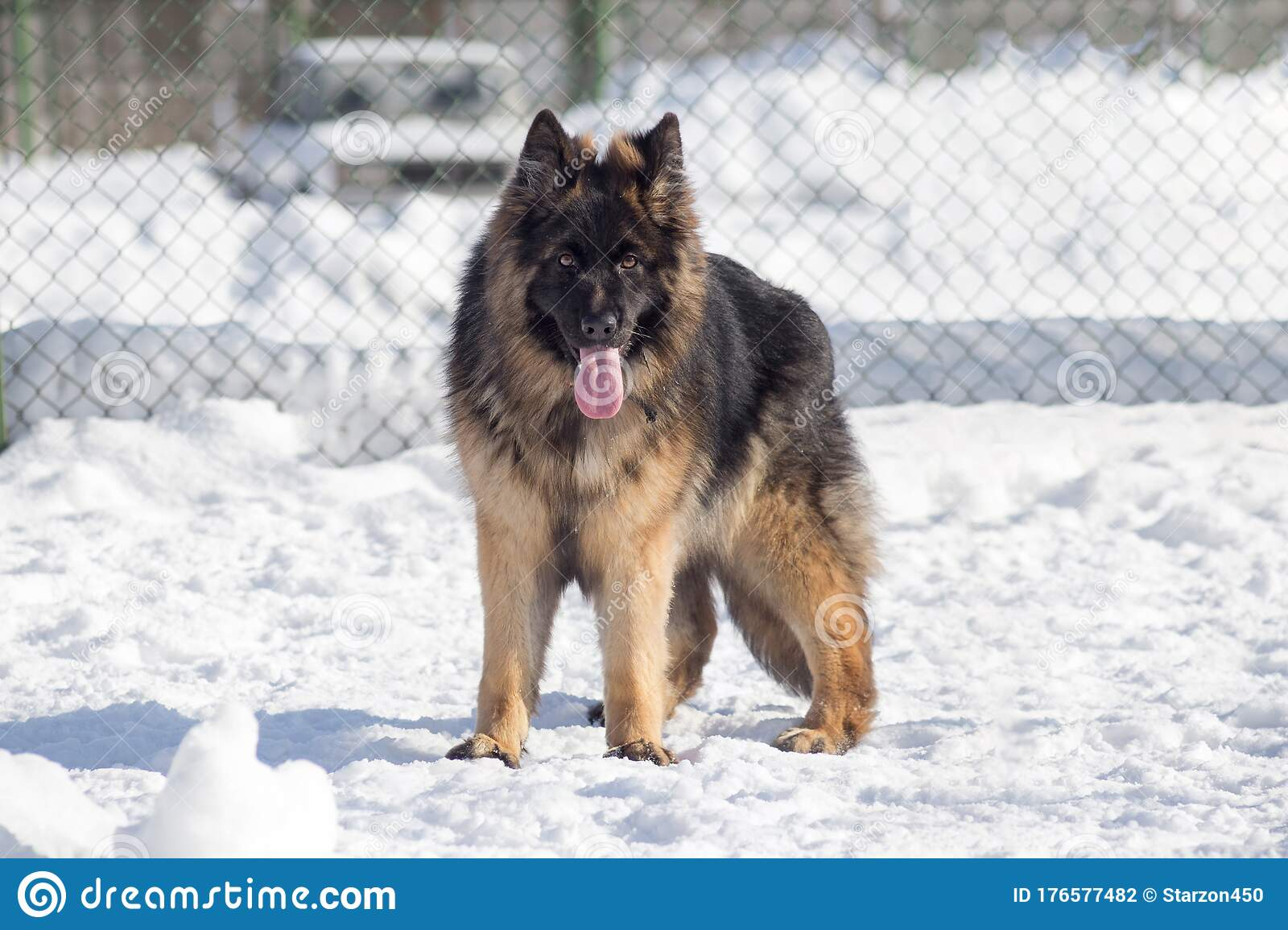 Long Haired German Shepherd Dog Puppy Is Looking At The Camera Pet Animals Stock Photo Image Of Cute Muzzle 176577482