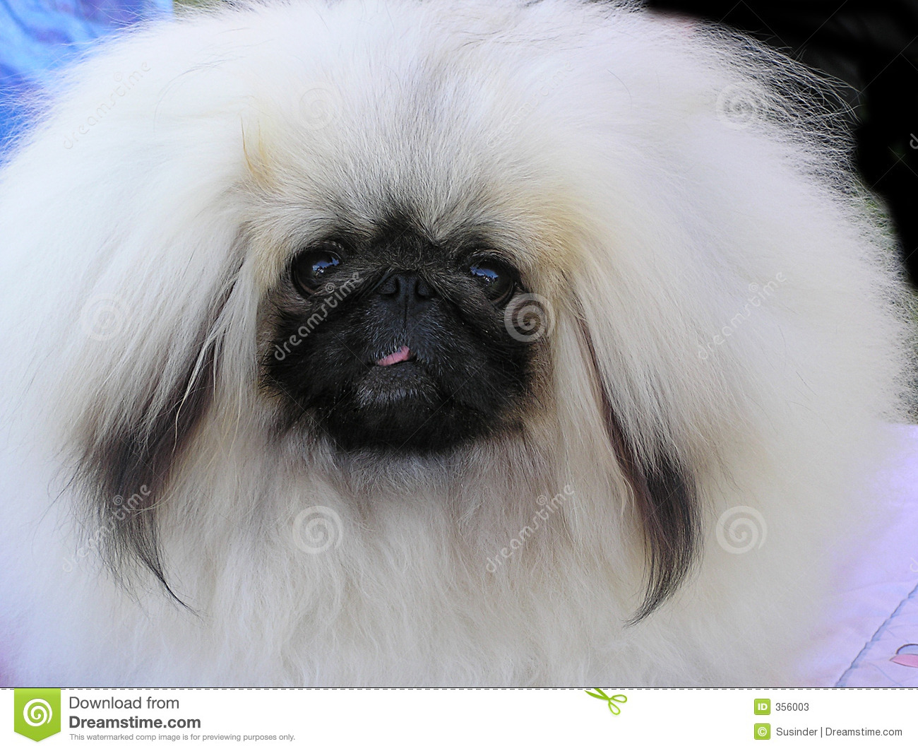 Don't know the breed ... photographed this cute dog at a dog show.