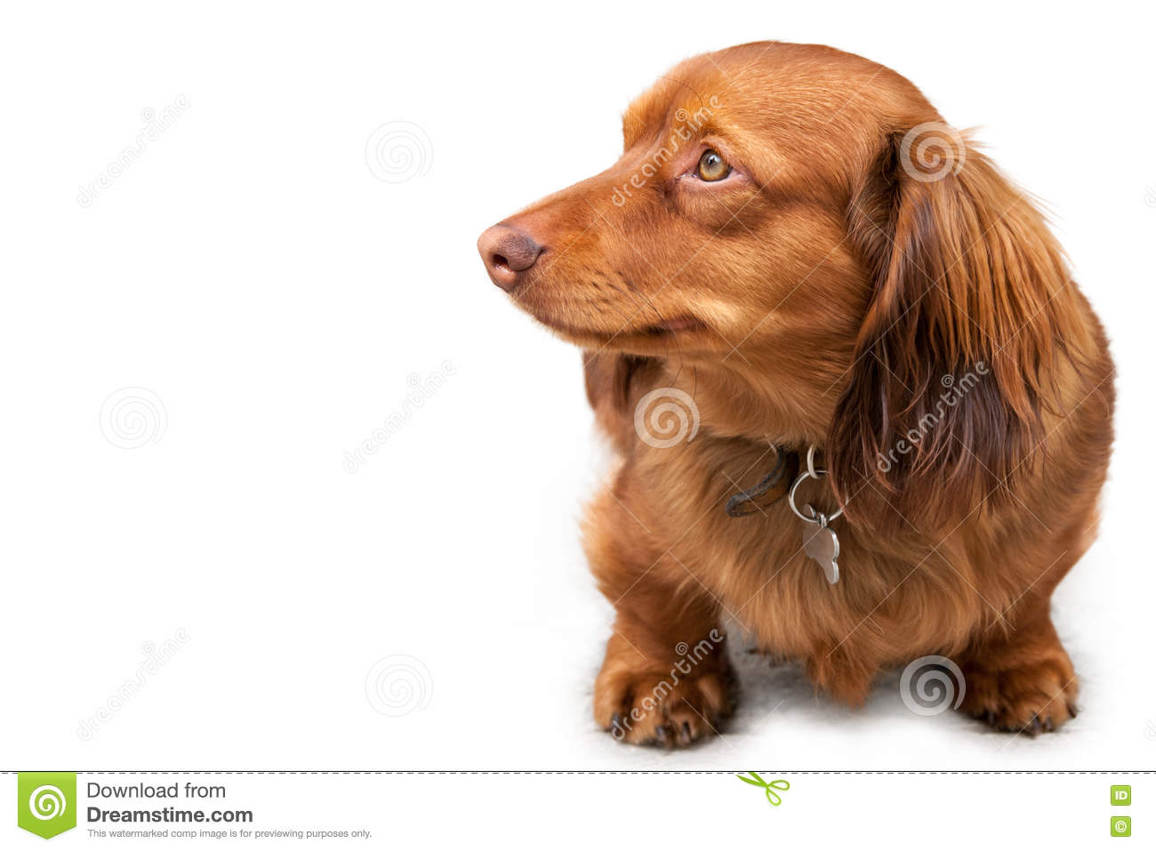 Long Haired Miniature Dachshund Stock Photography - Image: 11145642