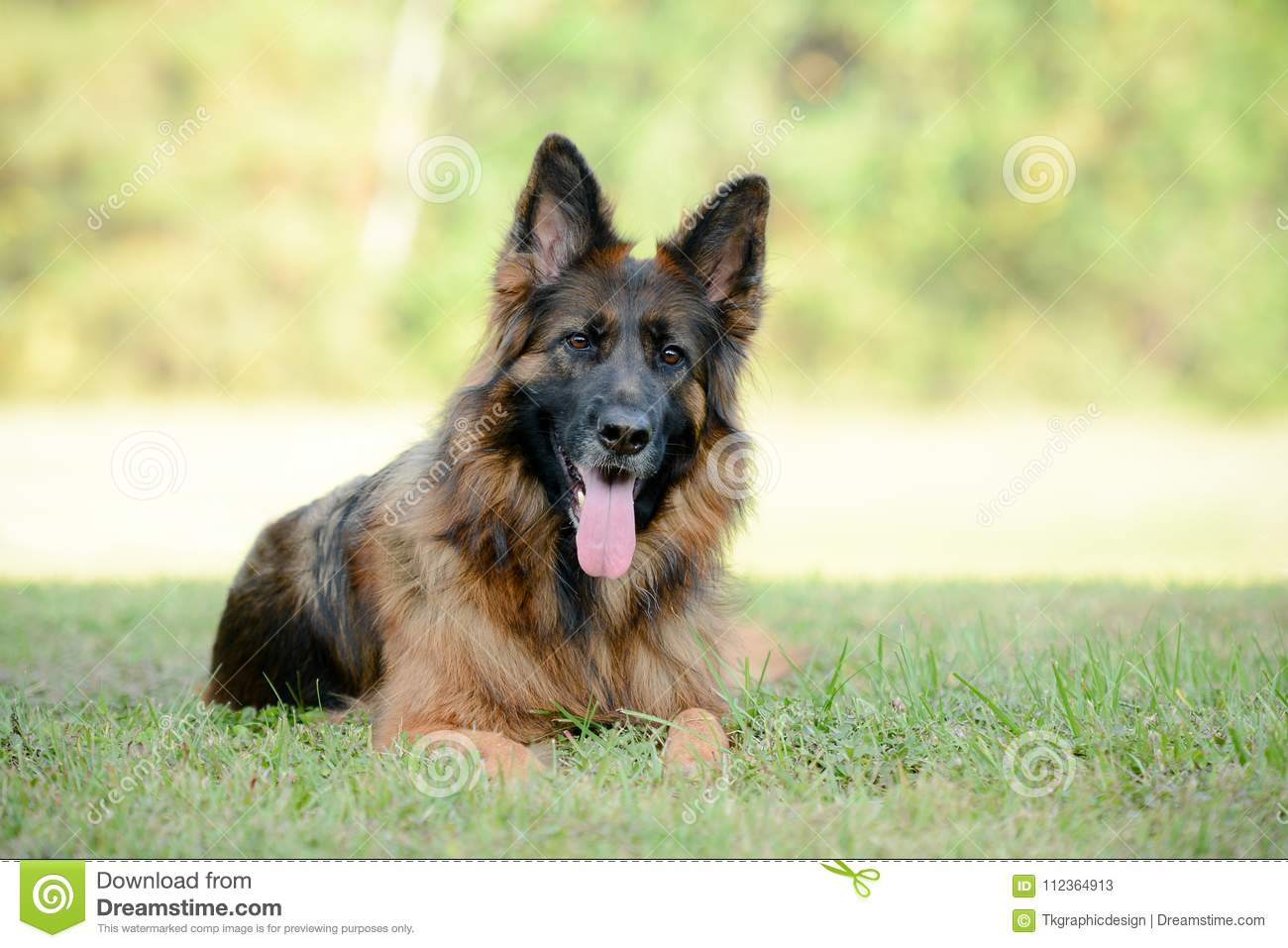 Long Haired Red And Black German Shepherd Dog Stock Image Image Of
