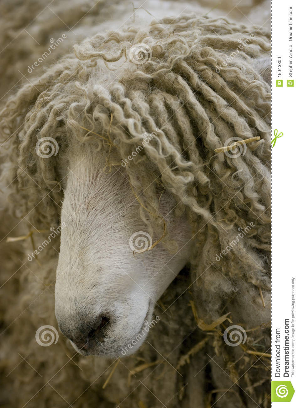 Long Haired Sheep Stock Images Image 15043804