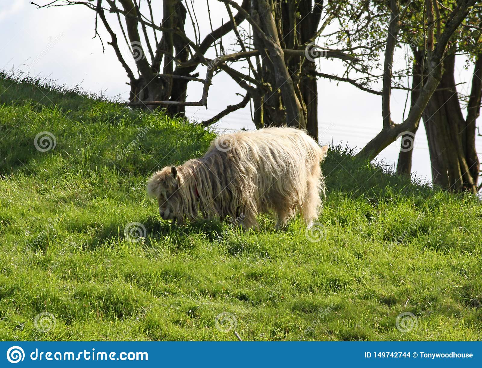 A long haired sheep grazes on lush green grass