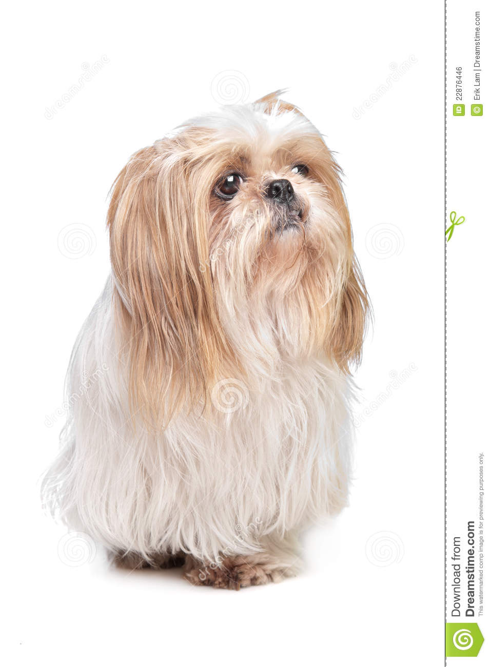 Long Haired Small Dog Royalty Free Stock Image - Image: 22876446