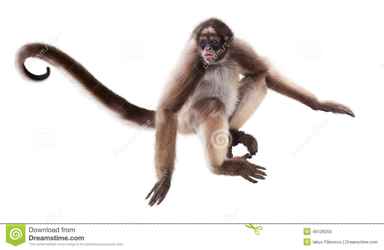 Long-haired spider monkey. Isolated over white background.