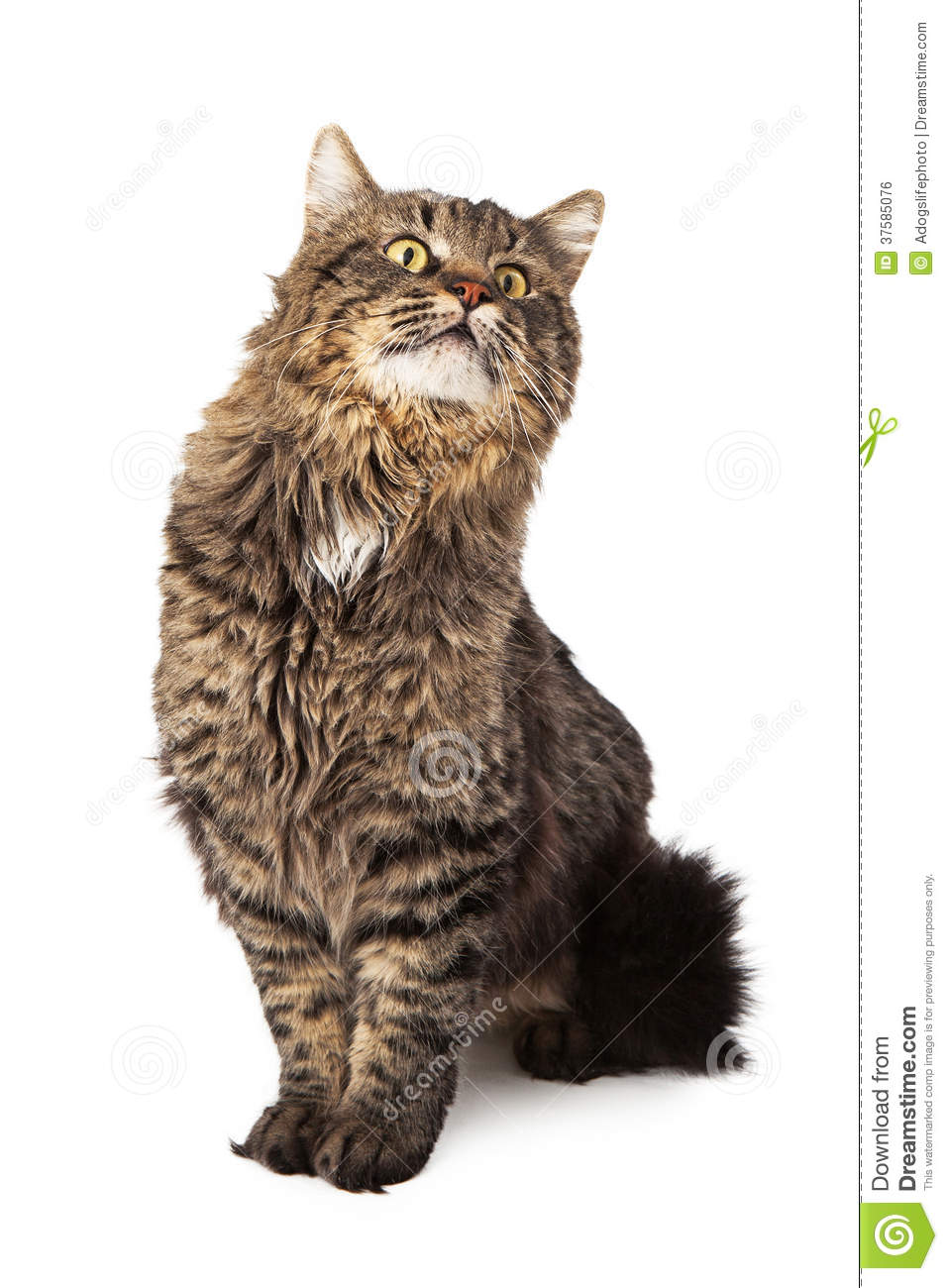 Long Haired Tabby Cat Sitting Looking Up Stock Photo ... Tabby Cat Sitting Up