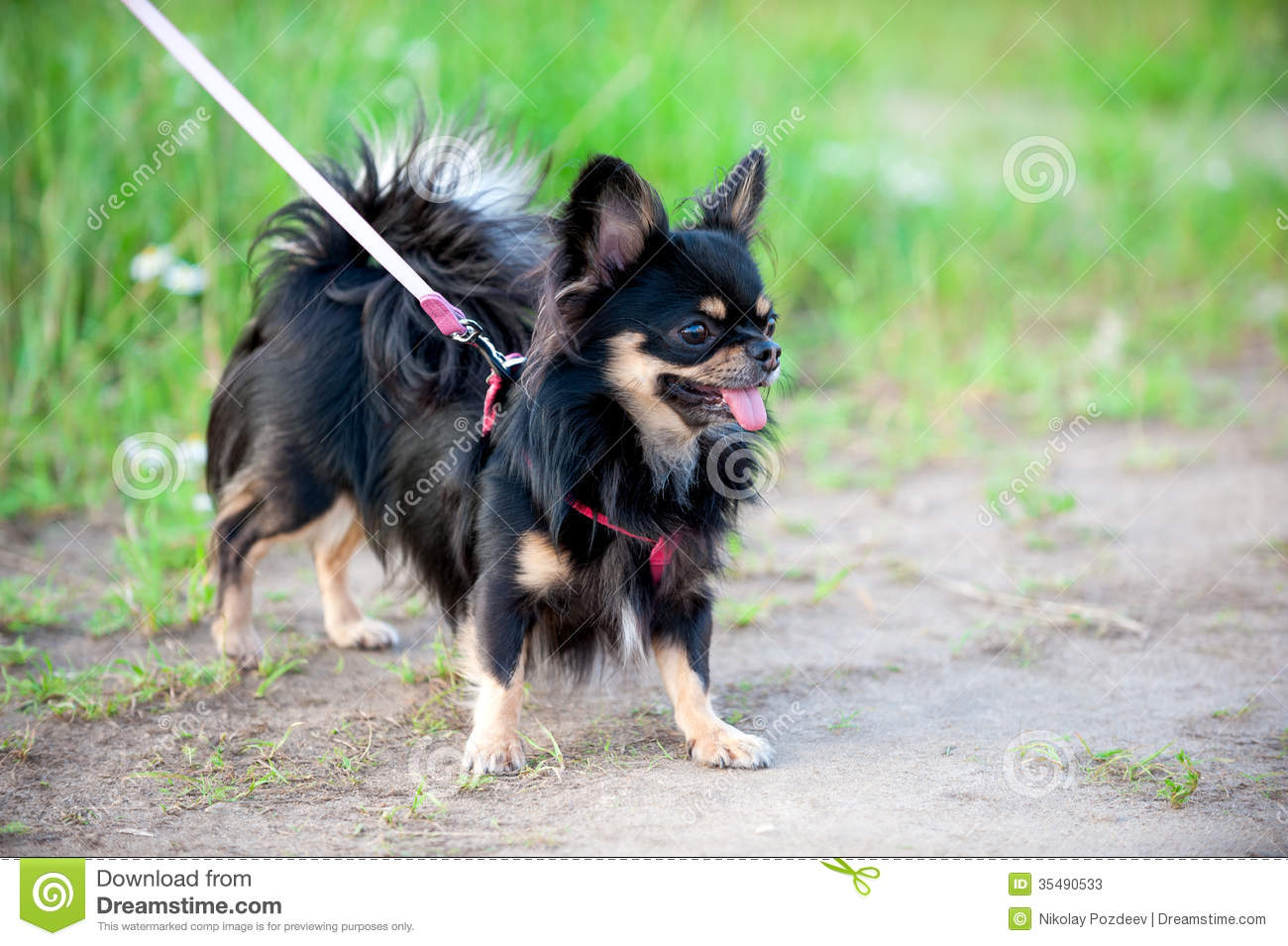 Long Haired Tricolor Chihuahua Dog Stock Photo 35490533 Megapixl
