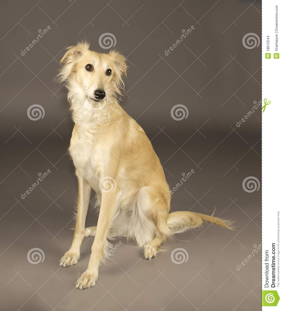 Long Haired Whippet Stock Photo Image Of Pets Long
