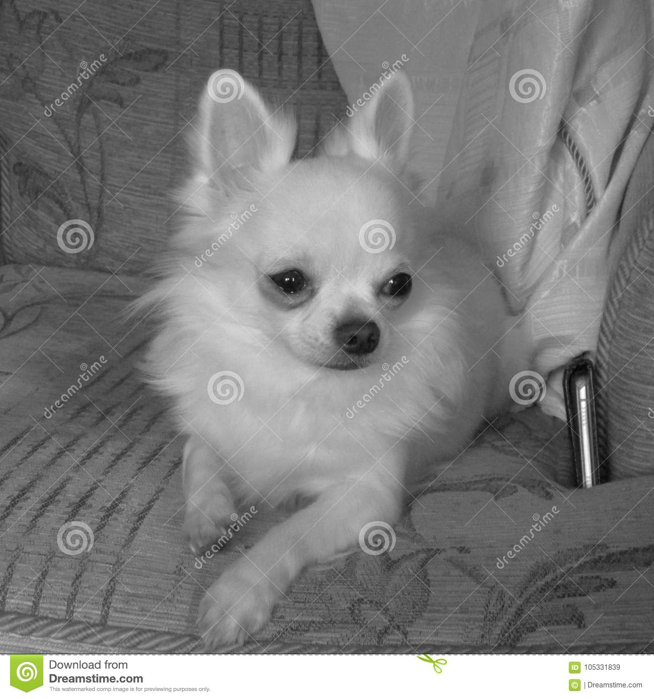 Long Haired White Teacup Chihuahua Stock Image - Image of