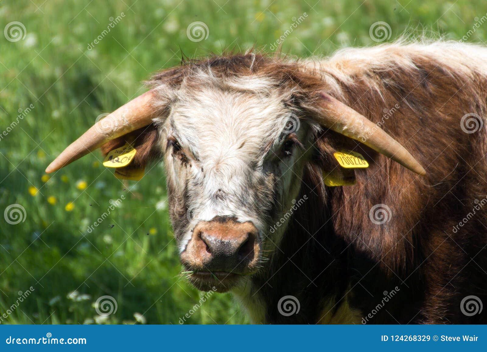 Long Horn Cattle Grazing In Pishiobury Park, Hertfordshire