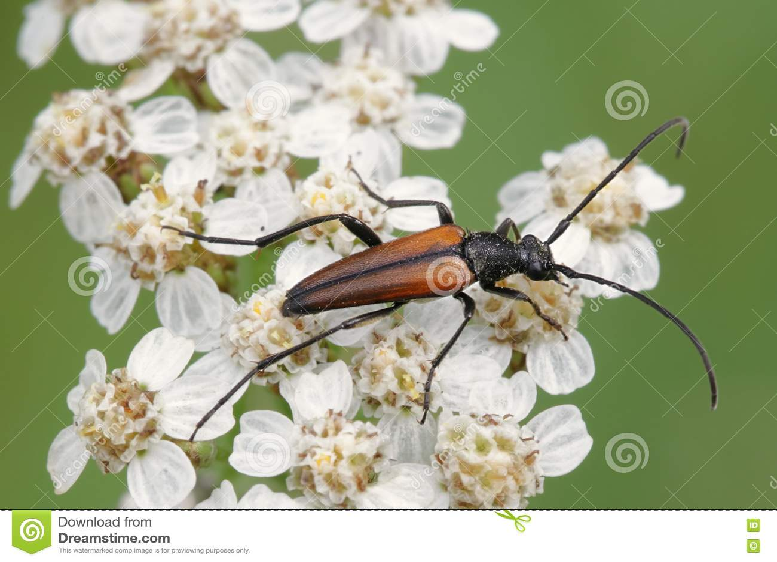 Long-horned beetle, Leptura melanura