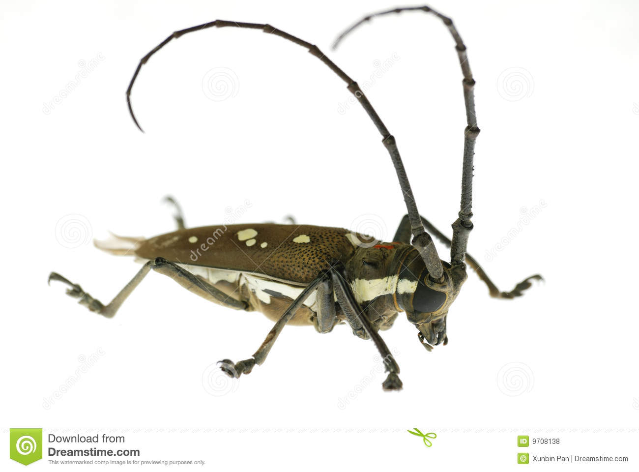 Long-horned beetle in white