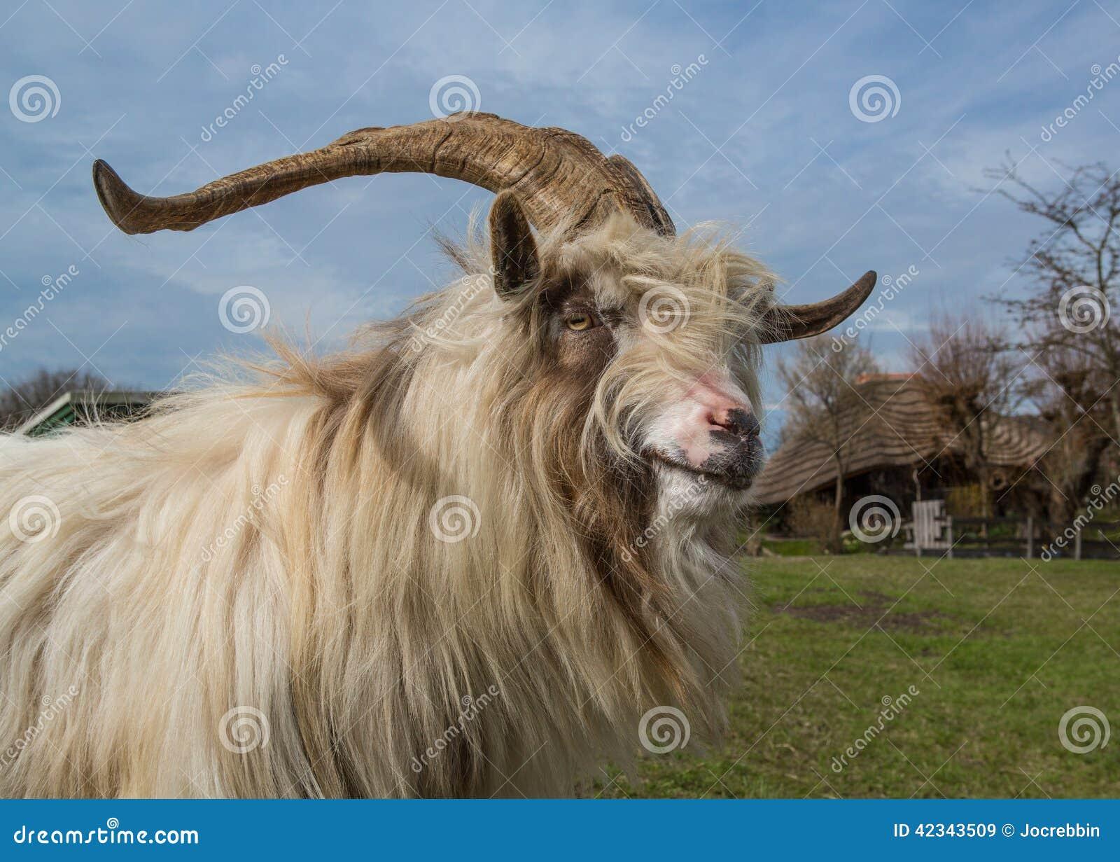 Long Horned, Long Hair Dutch Sheep Stock Photo