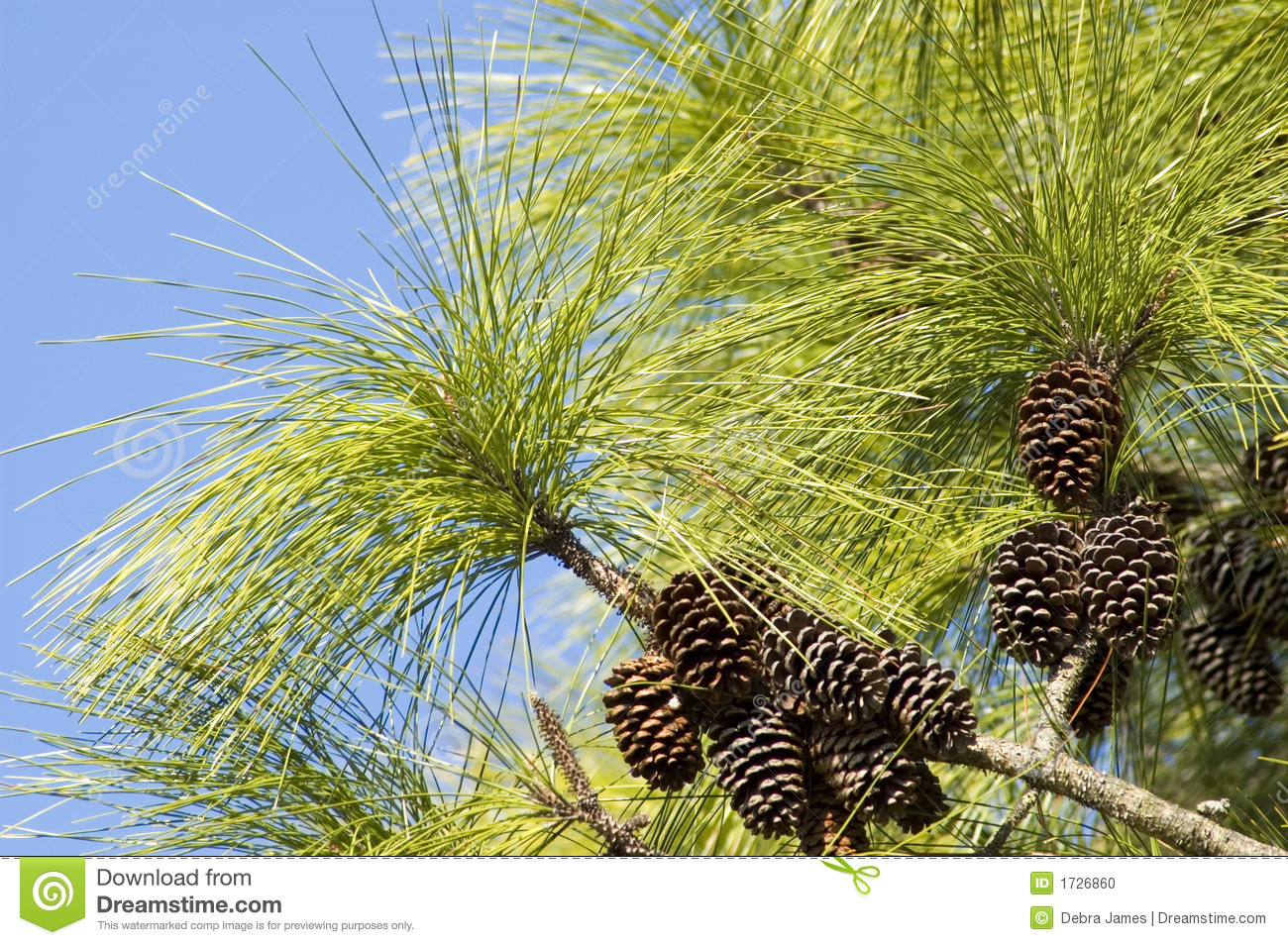 Long leaf pine needles and pine cones stock photo image for Long pine cones