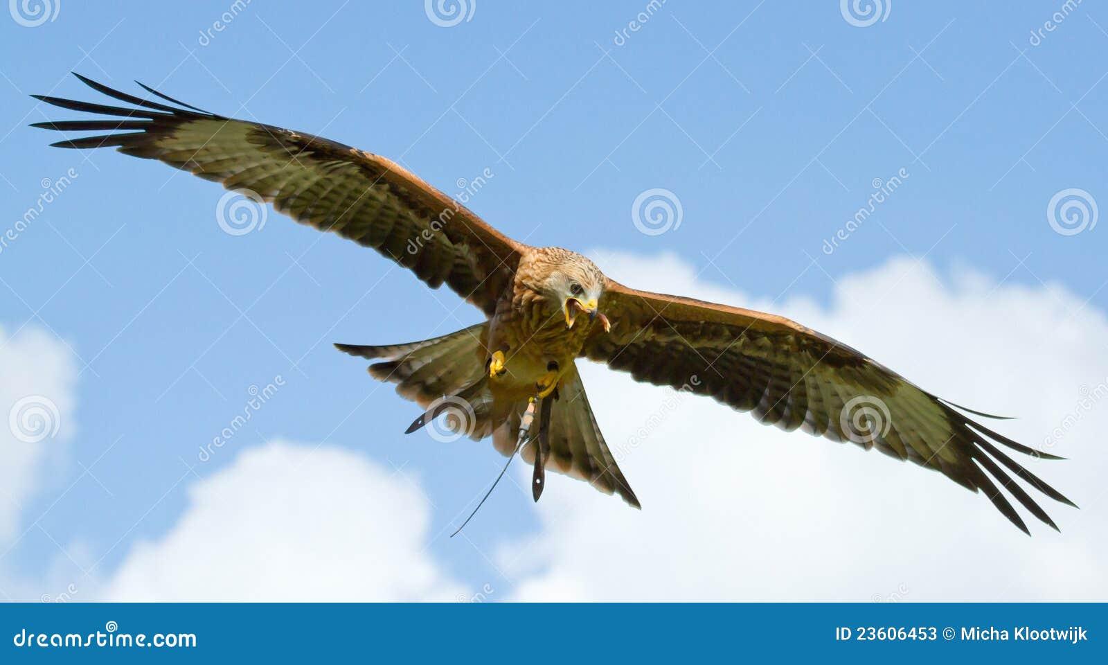 A long-legged buzzard