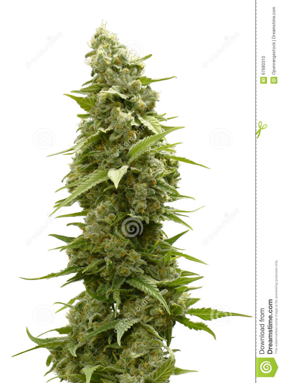 bud singles Order securely online bc bud depot cannabis seeds at attitude seed bank visit us for fast and discreet worldwide delivery.