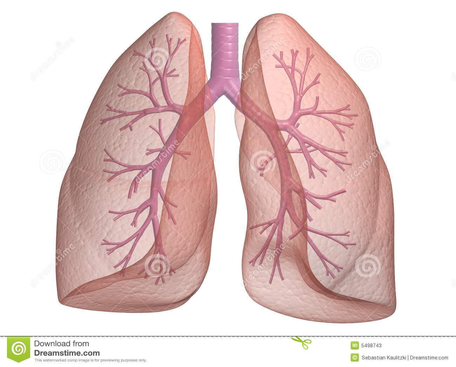 Long met bronchiën