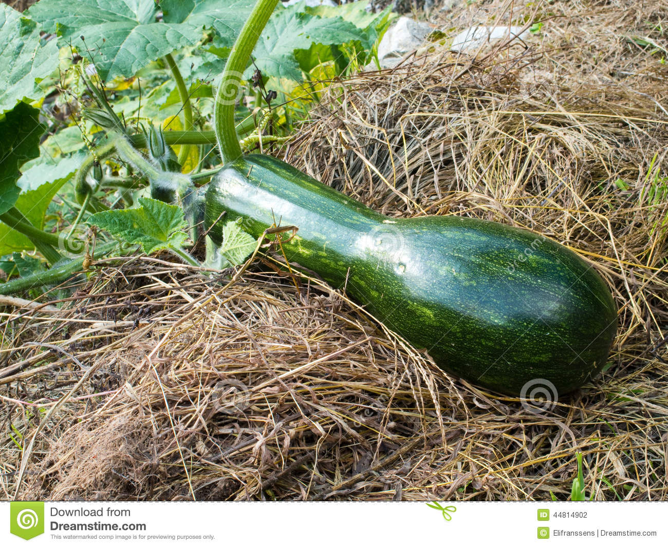 Long of Naples pumpkin stock photo. Image of food, grass ...