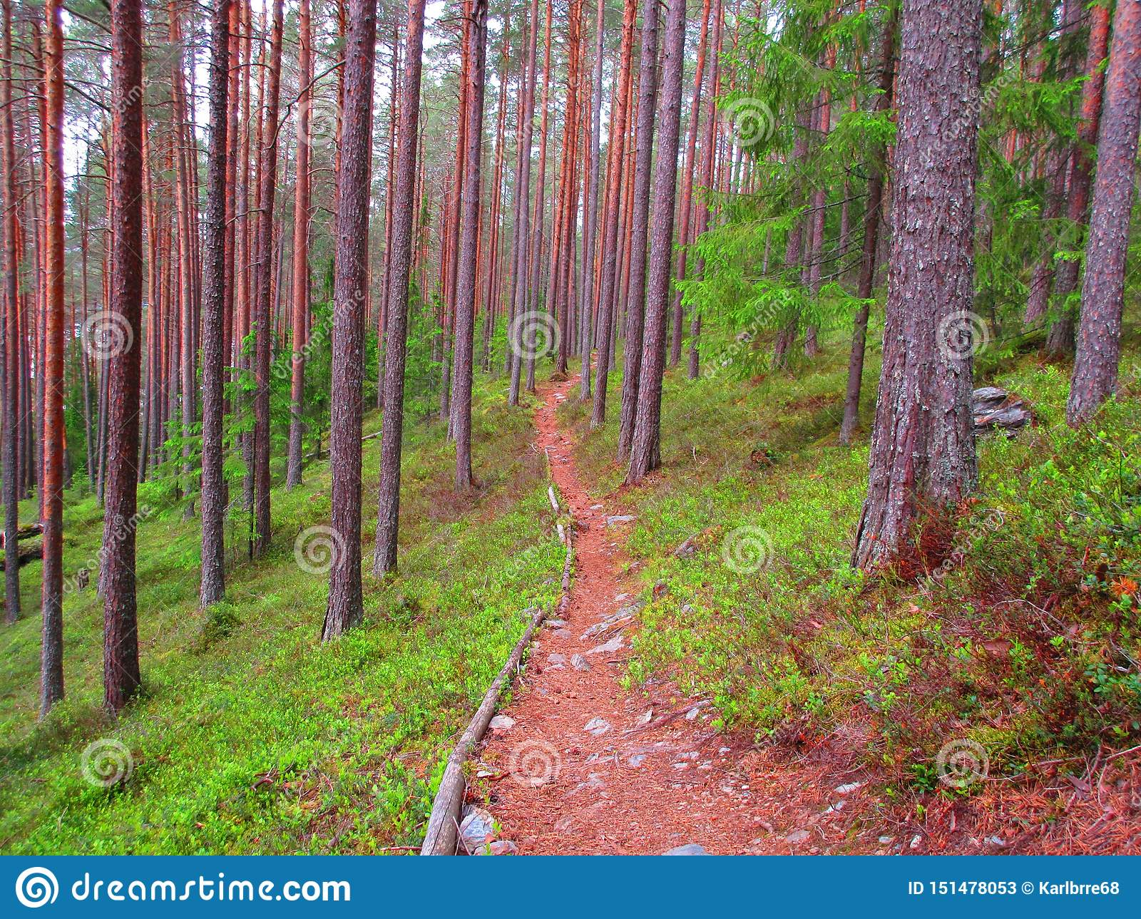 A long path true the forest whit pine on both side