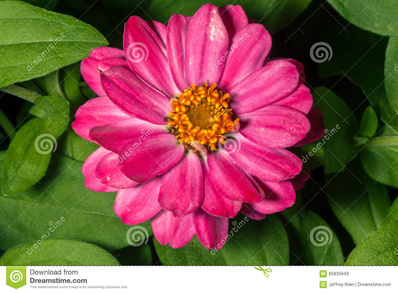 Long Pink Flower With Yellow Center Stock Image Image Of Garden