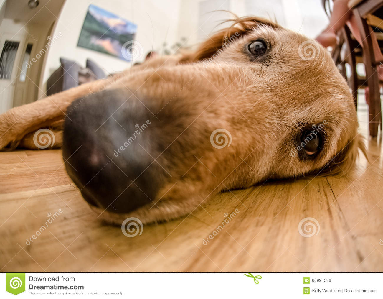 Long Snout Of Golden Retriever Stock Photo Image Of