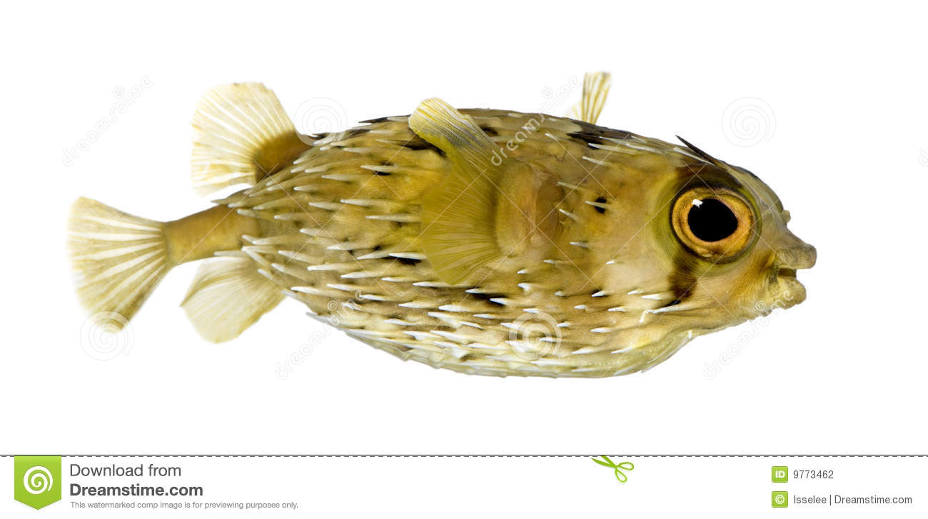 Long-spine porcupinefish also know as spiny balloo