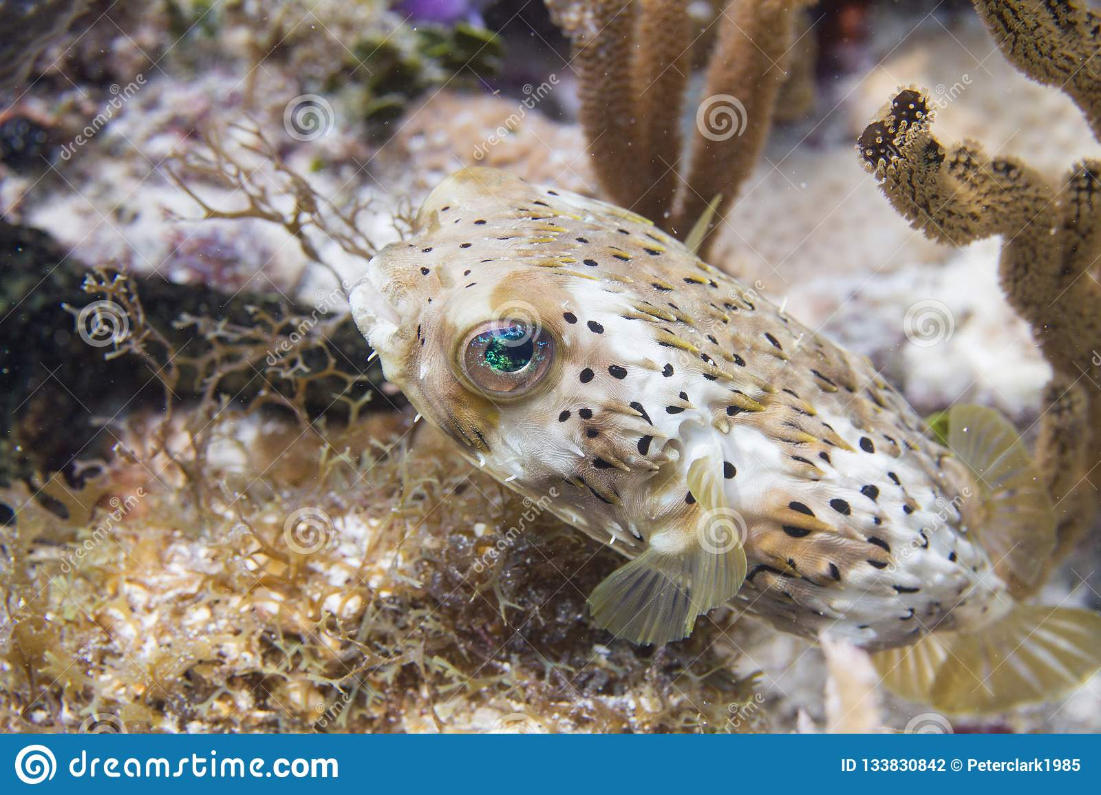 Long-Spine Porcupinefish on Coral Reef