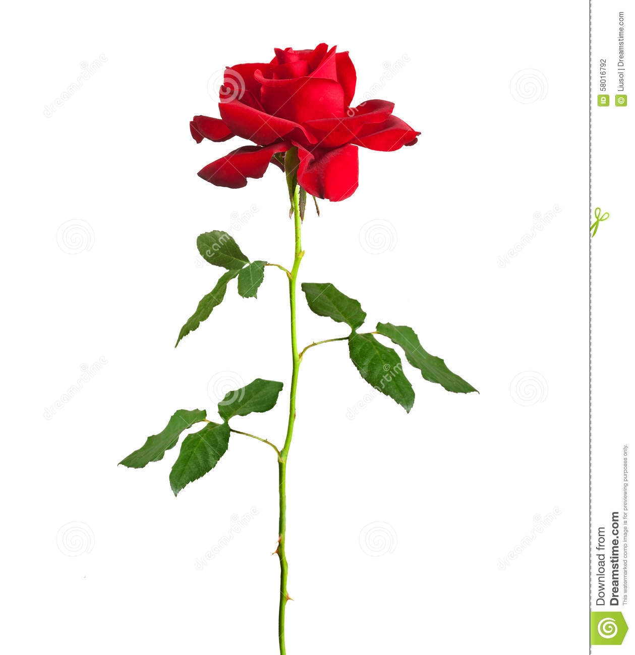 Long stem red rose. Flower single red rose long stem isolated stock photography