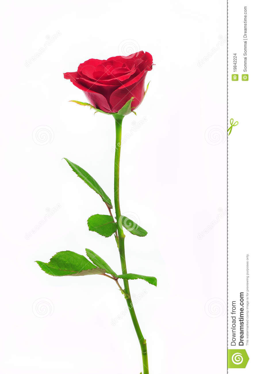 Long Stem Rose Stock Images - Image: 19842224