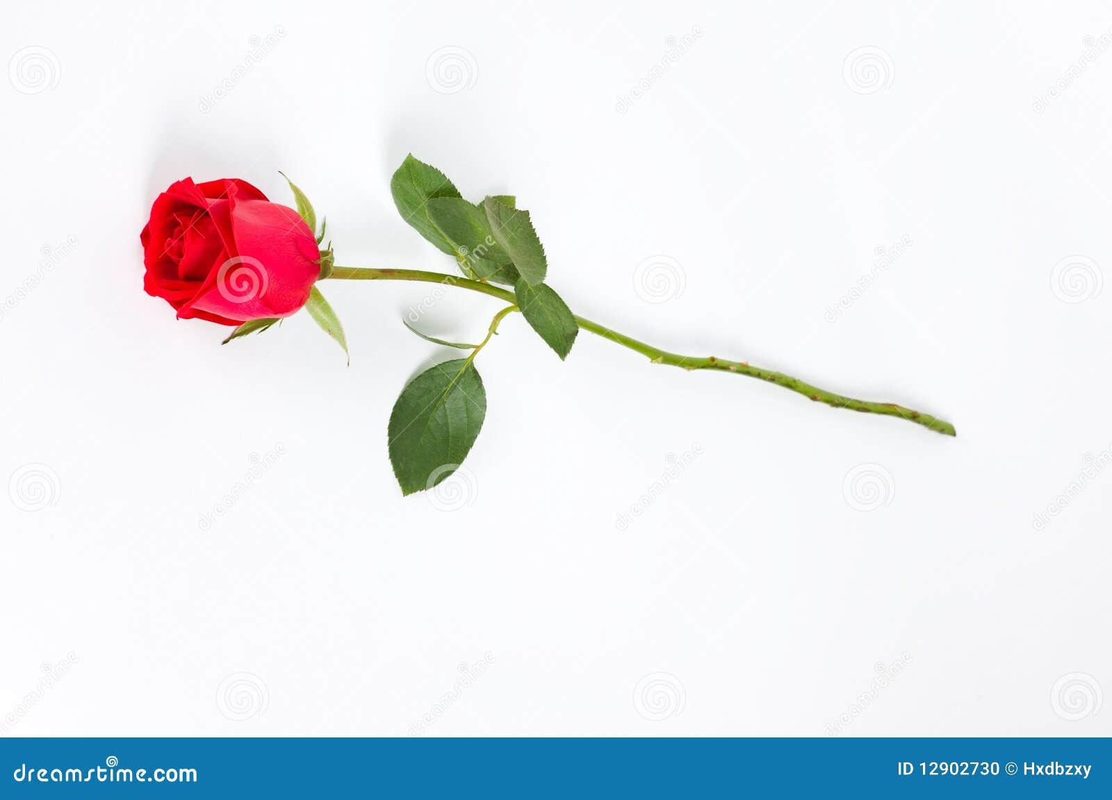 single long stemmed rose  Long Stem Rose Stock Images - 1,507 Photos