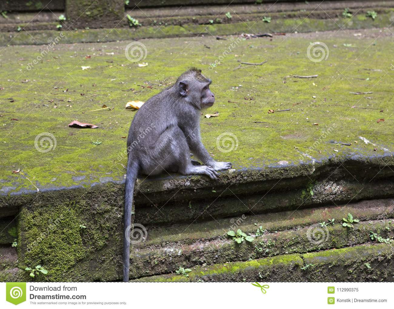 Long-tailed macaque-Macaca fascicularis in Sangeh Monkey Forest in Bali, Indonesia