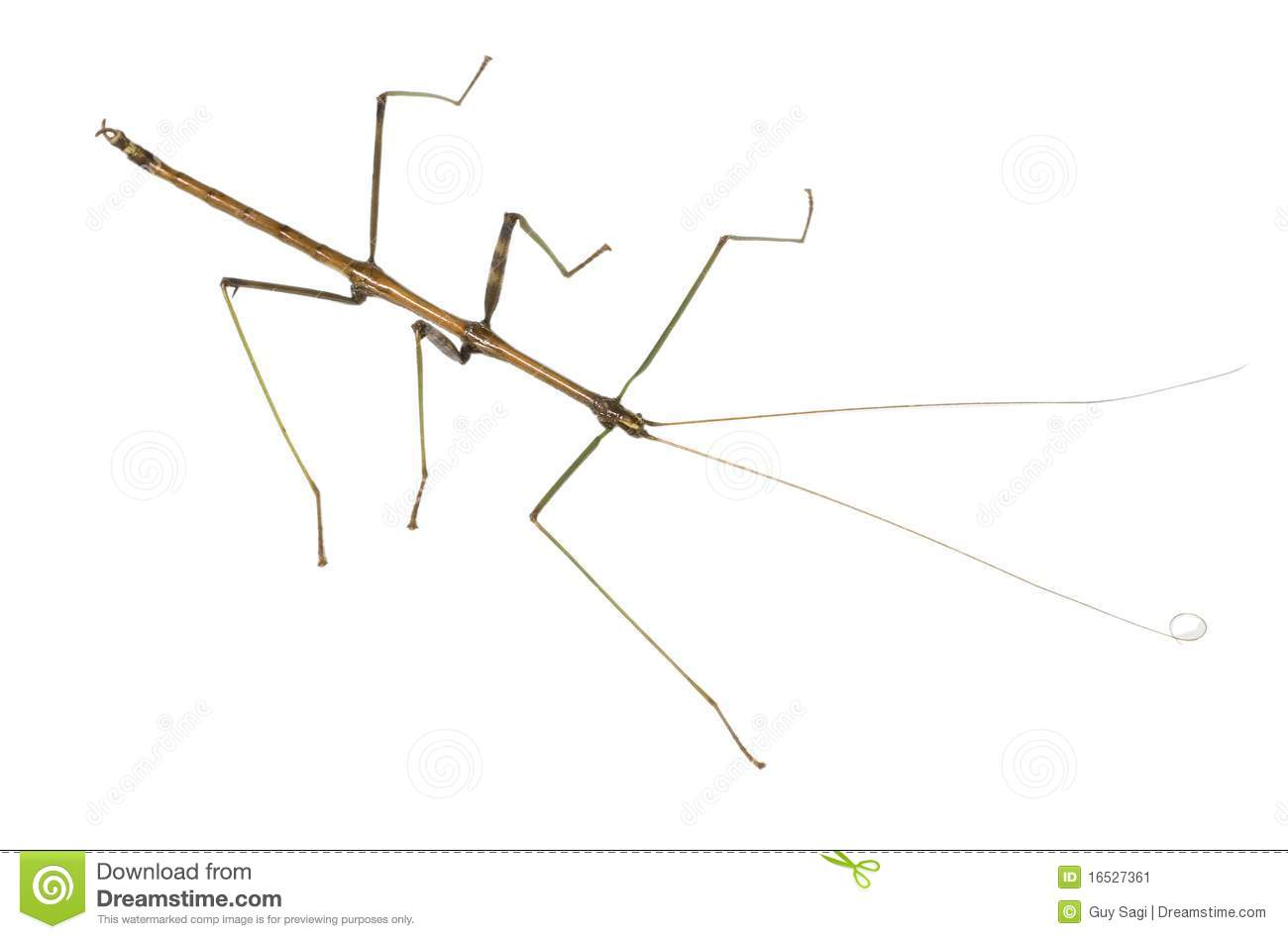 long and thin bug stock image image of isolated stick 16527361. Black Bedroom Furniture Sets. Home Design Ideas
