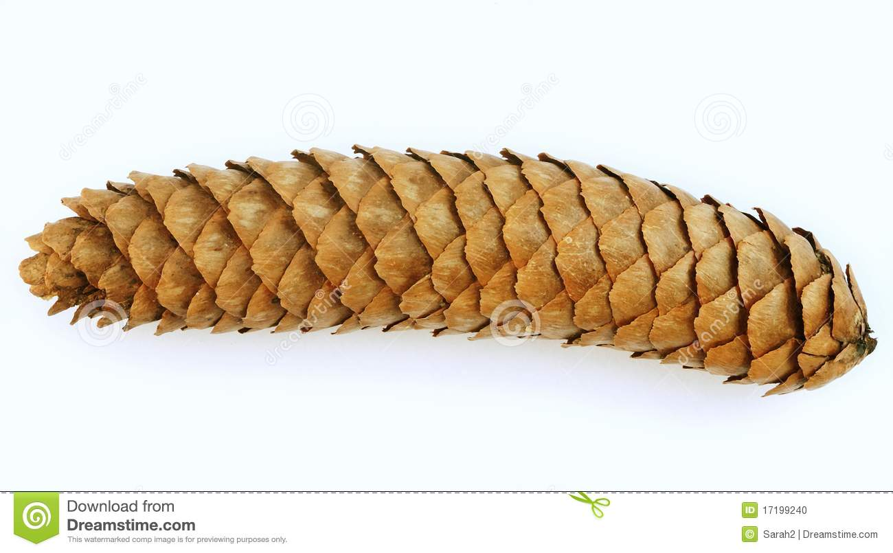 Long thin pine cone over white stock photo image for Long pine cones