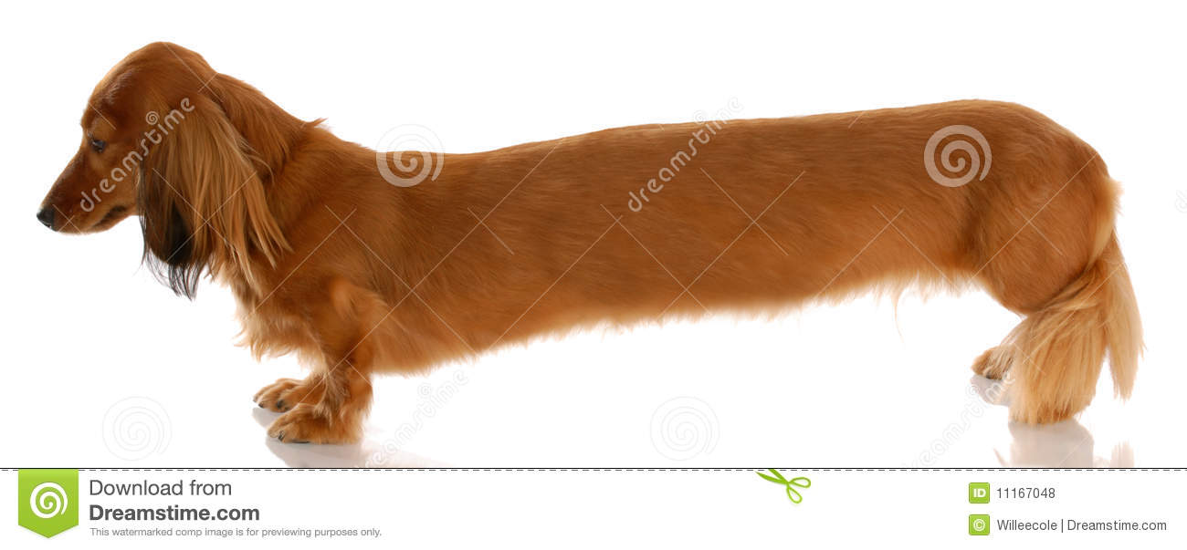 Long Wiener Dog Stock Photo Image Of Isolated Buddy