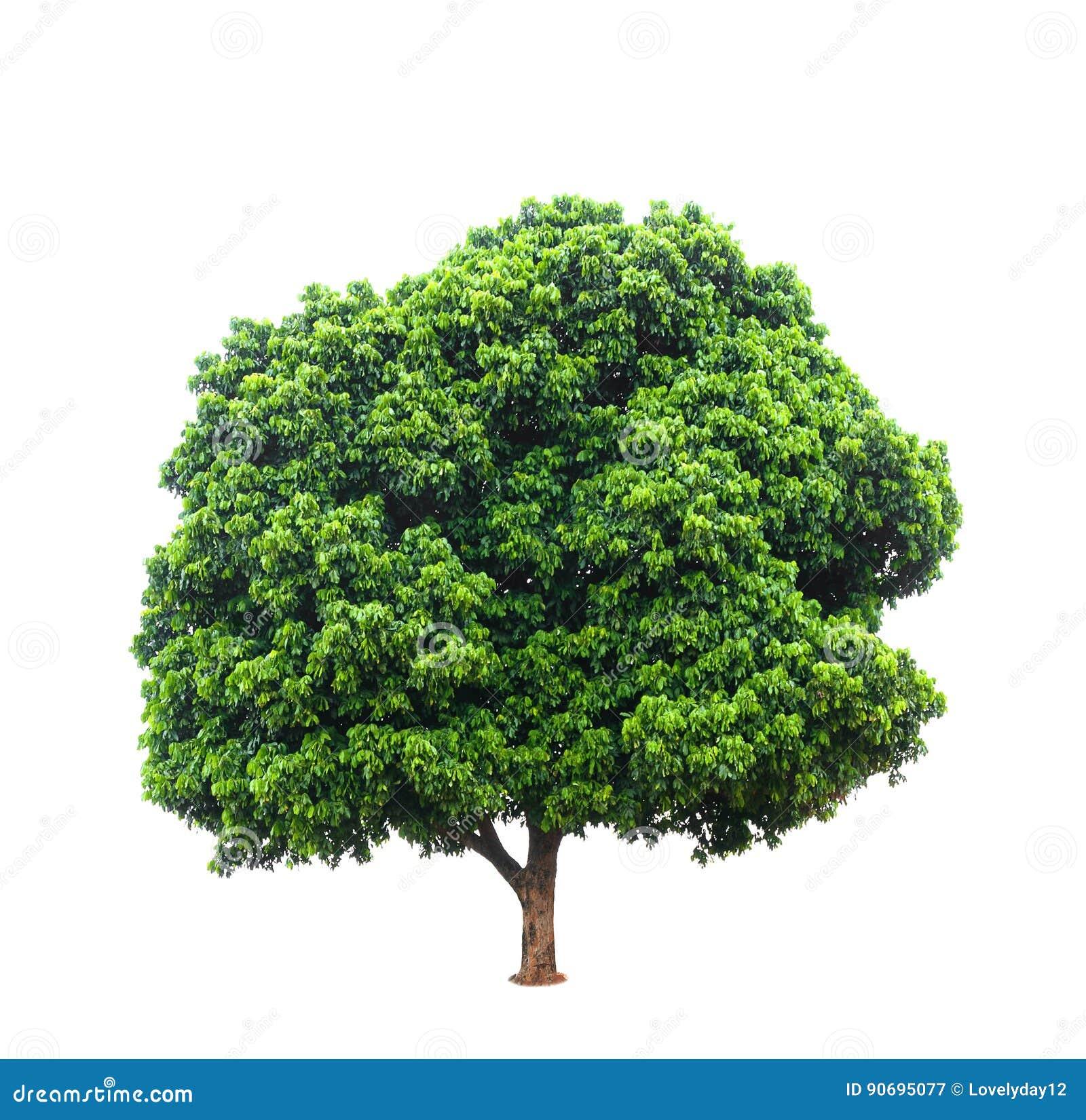Longan drzewa odizolowywający na bielu