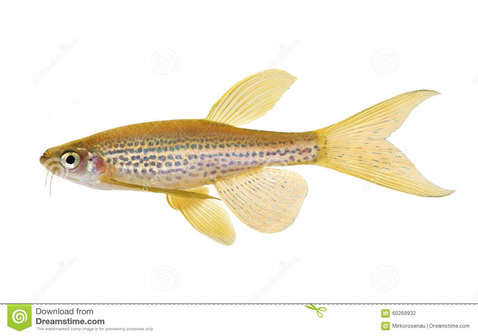 Longfin豹子斑马鱼Rerio巴勃淡水水族馆鱼