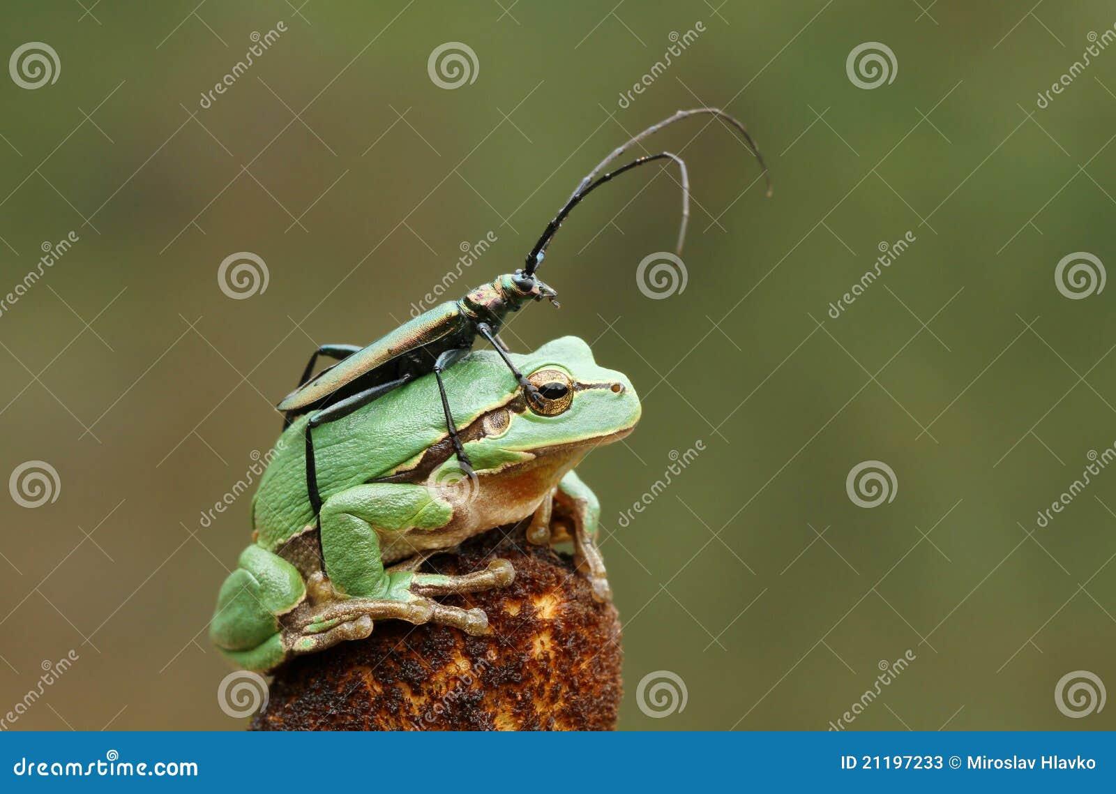 Longhorn beetle on tree frog