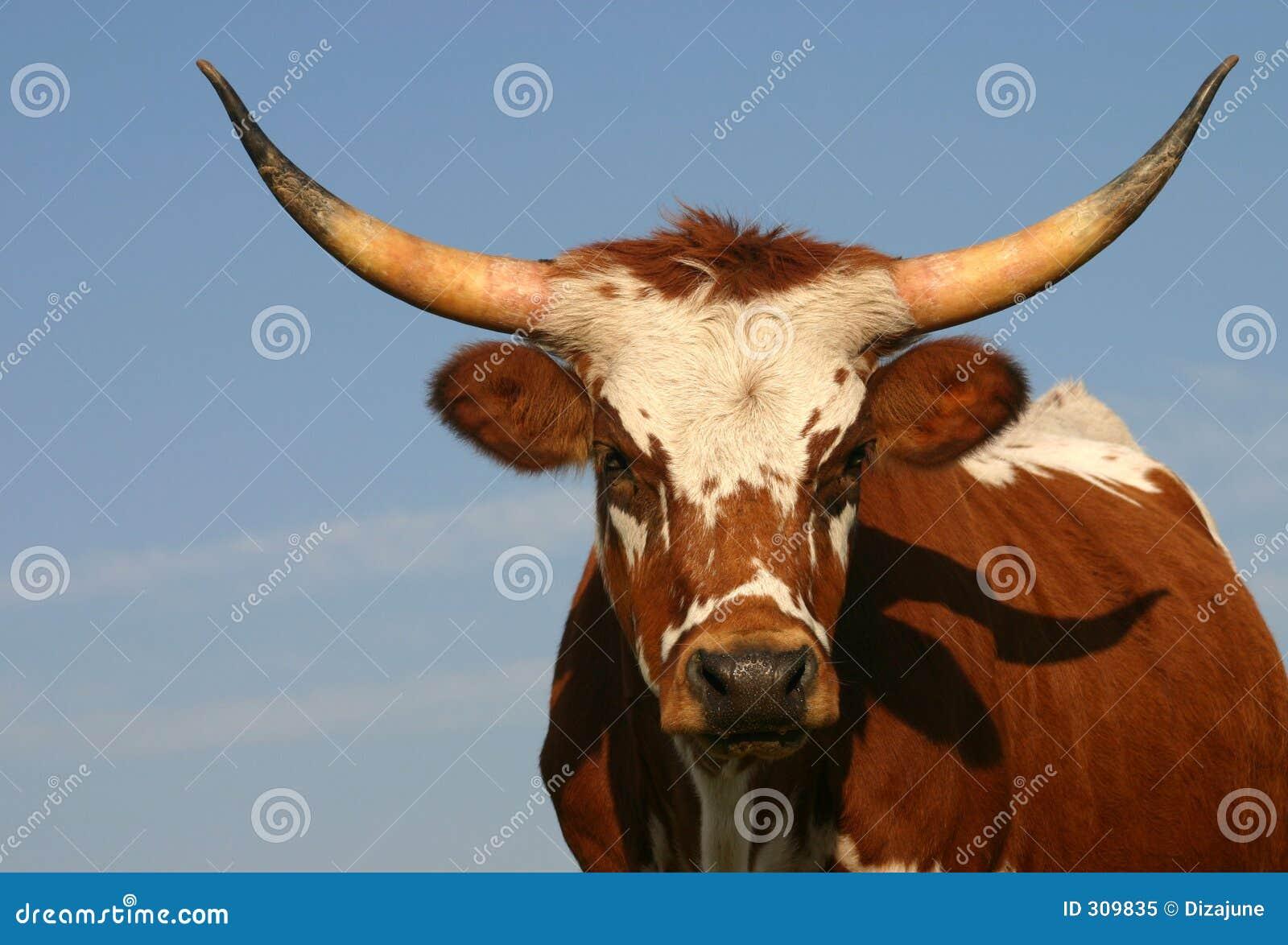 Big Longhorn Logo Longhorn Cow