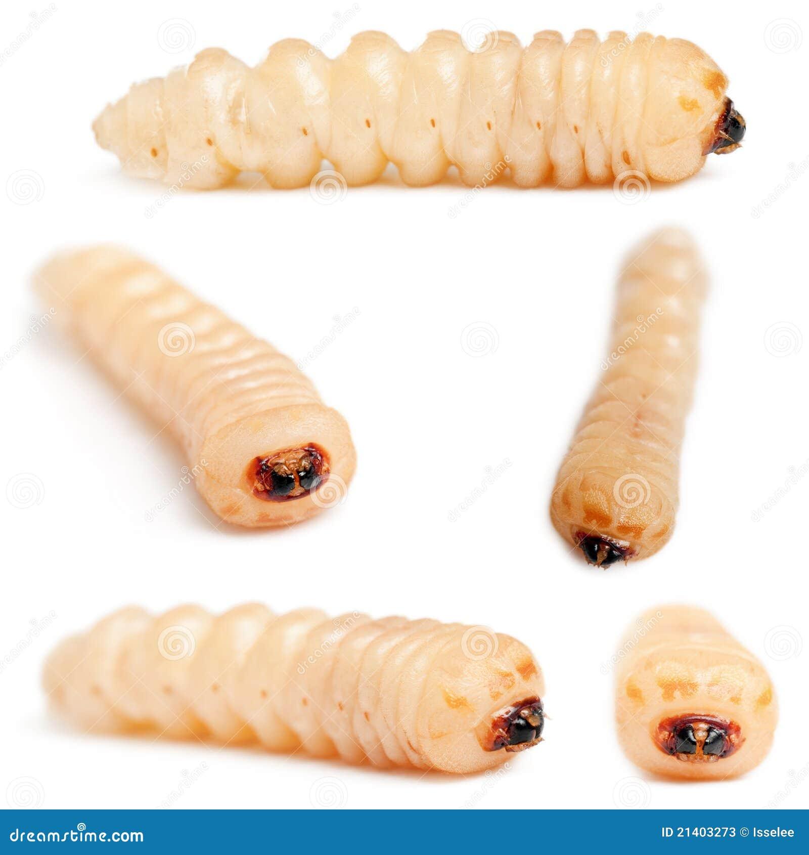 Larva de Cerambycidae Giant Longhorn Beetle Larva  Lab Entomologia Sistemática  UEL