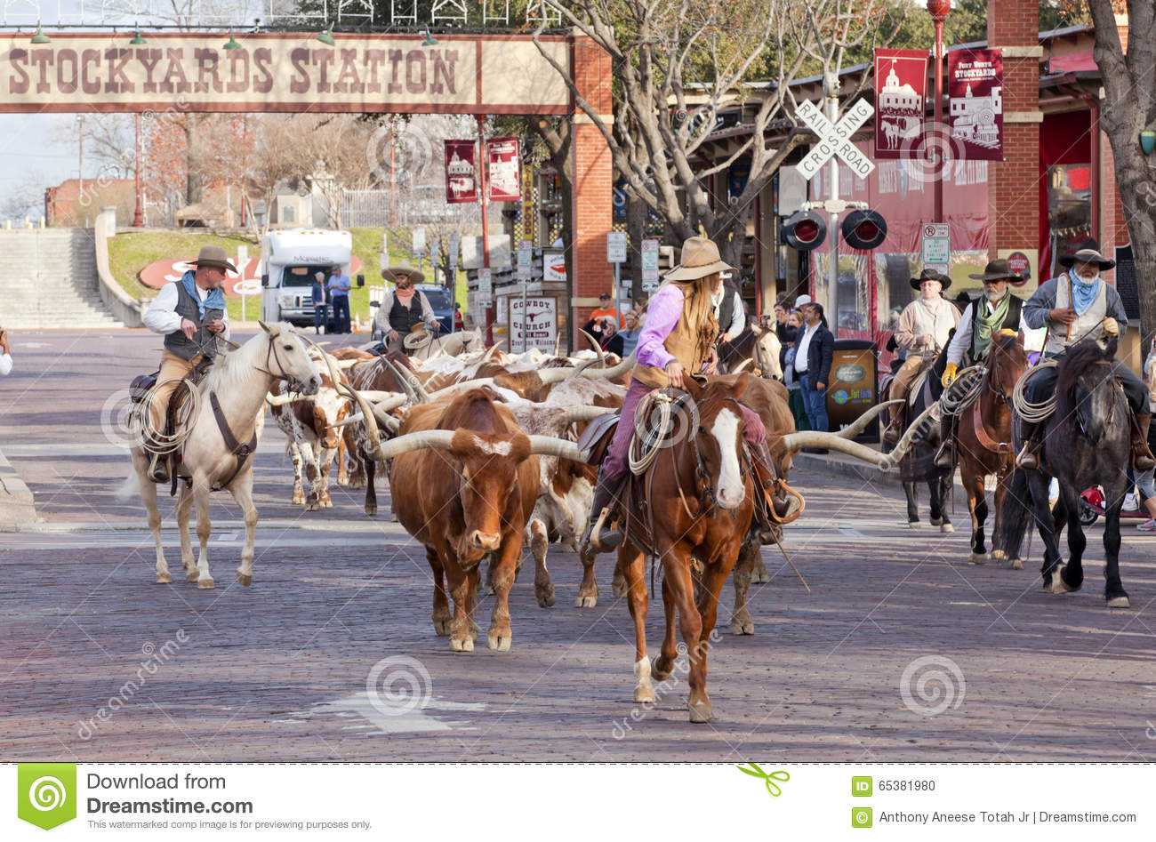 Longhorns Cattle Drive At The Fort Worth Stockyards Editorial Image Image Of Animal Females 65381980