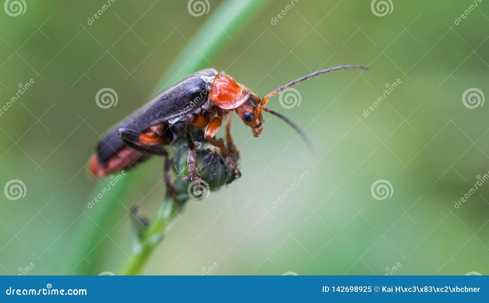 Longicorn жук взбирается показ подсказки пальца