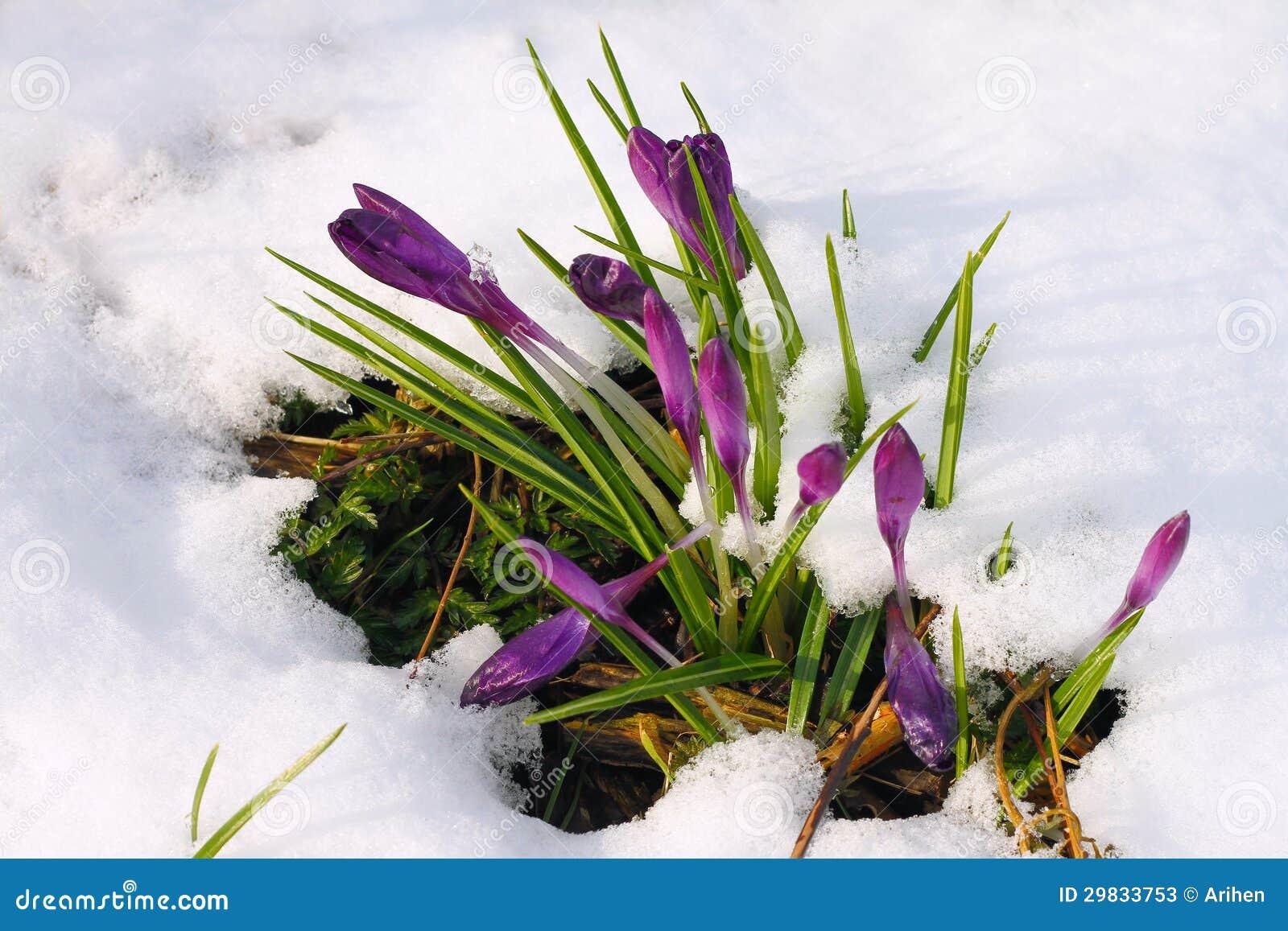 Açafrão na neve