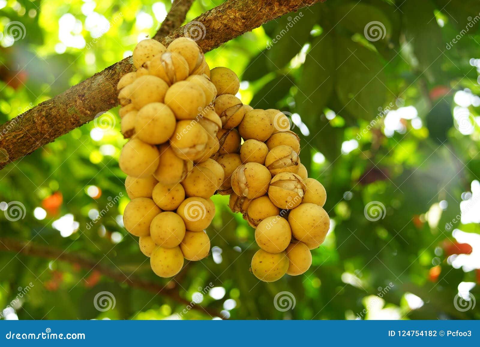 Longkong é usado para o tipo que tem a pele que é descascada facilmente fora sem látex leitoso Os frutos feitos sob medida bola d