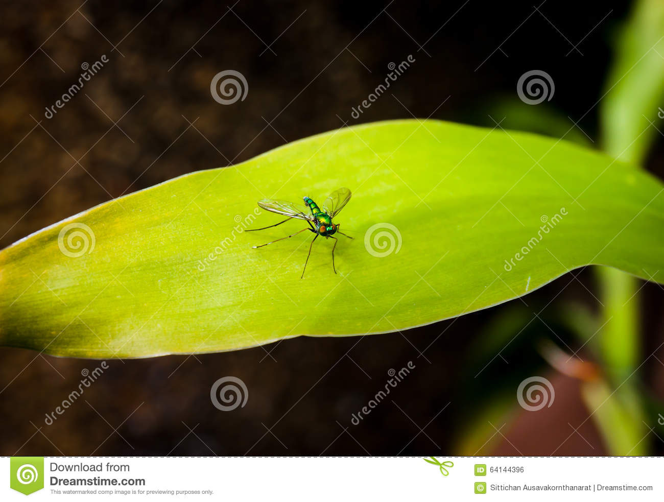 Longlegged fly on a green leaf