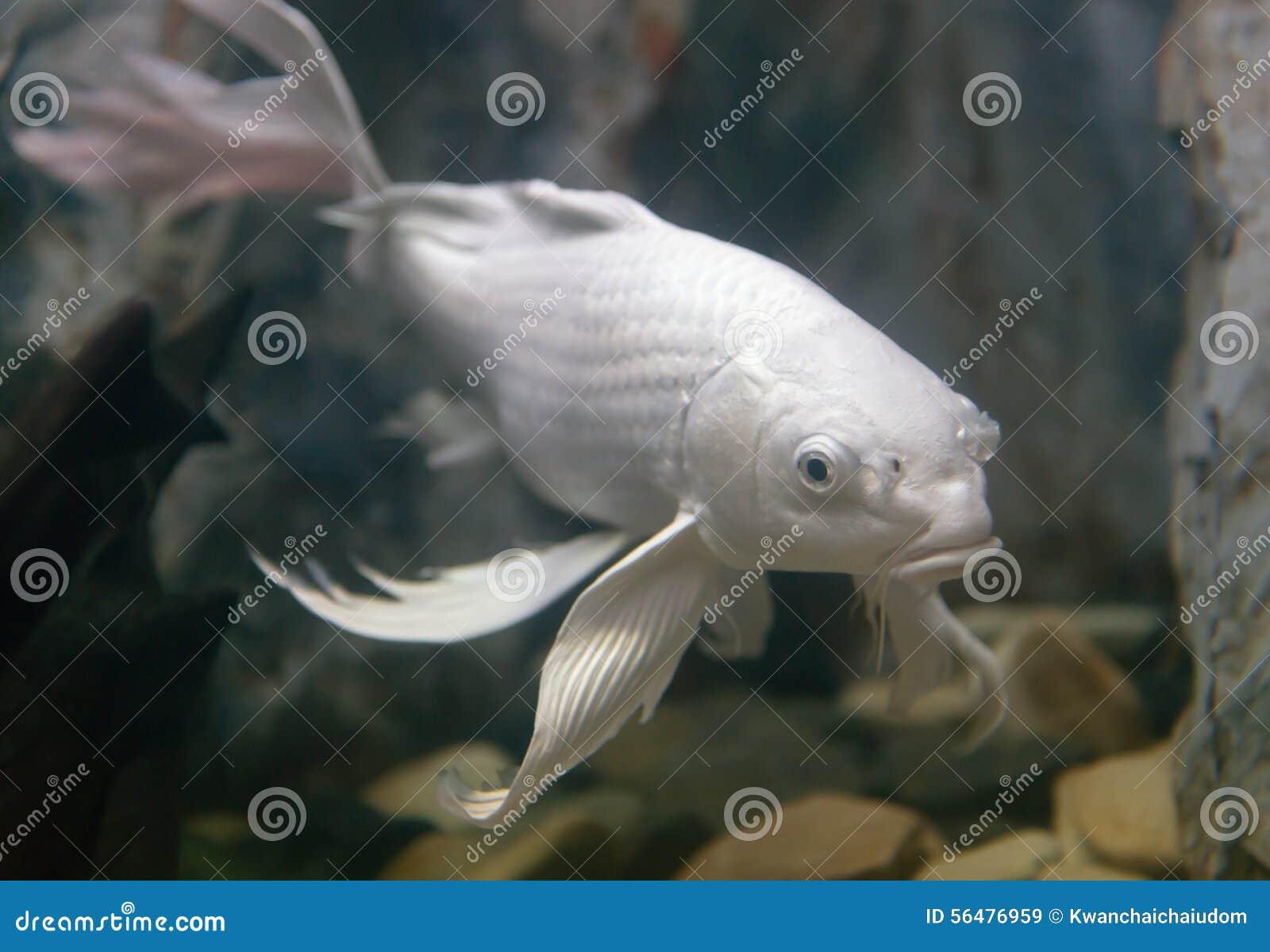 Longs poissons de carpe de fantaisie d aileron