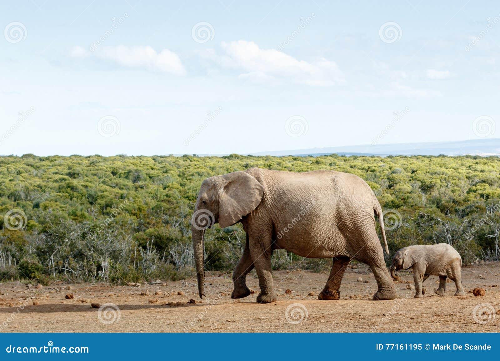 Longue promenade pour libérer la liberté - éléphant de Bush d Africain