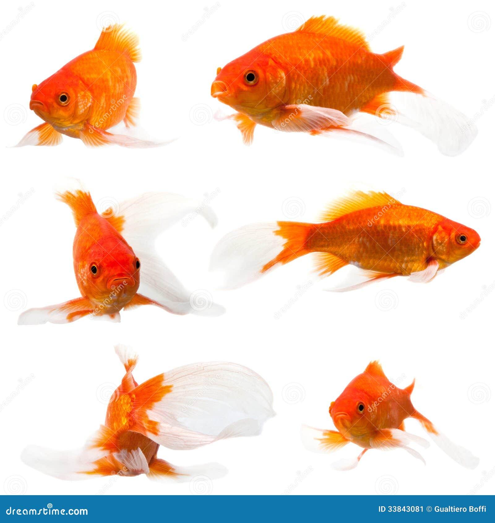 longue queue de poisson rouge image stock image du arri re sous 33843081. Black Bedroom Furniture Sets. Home Design Ideas