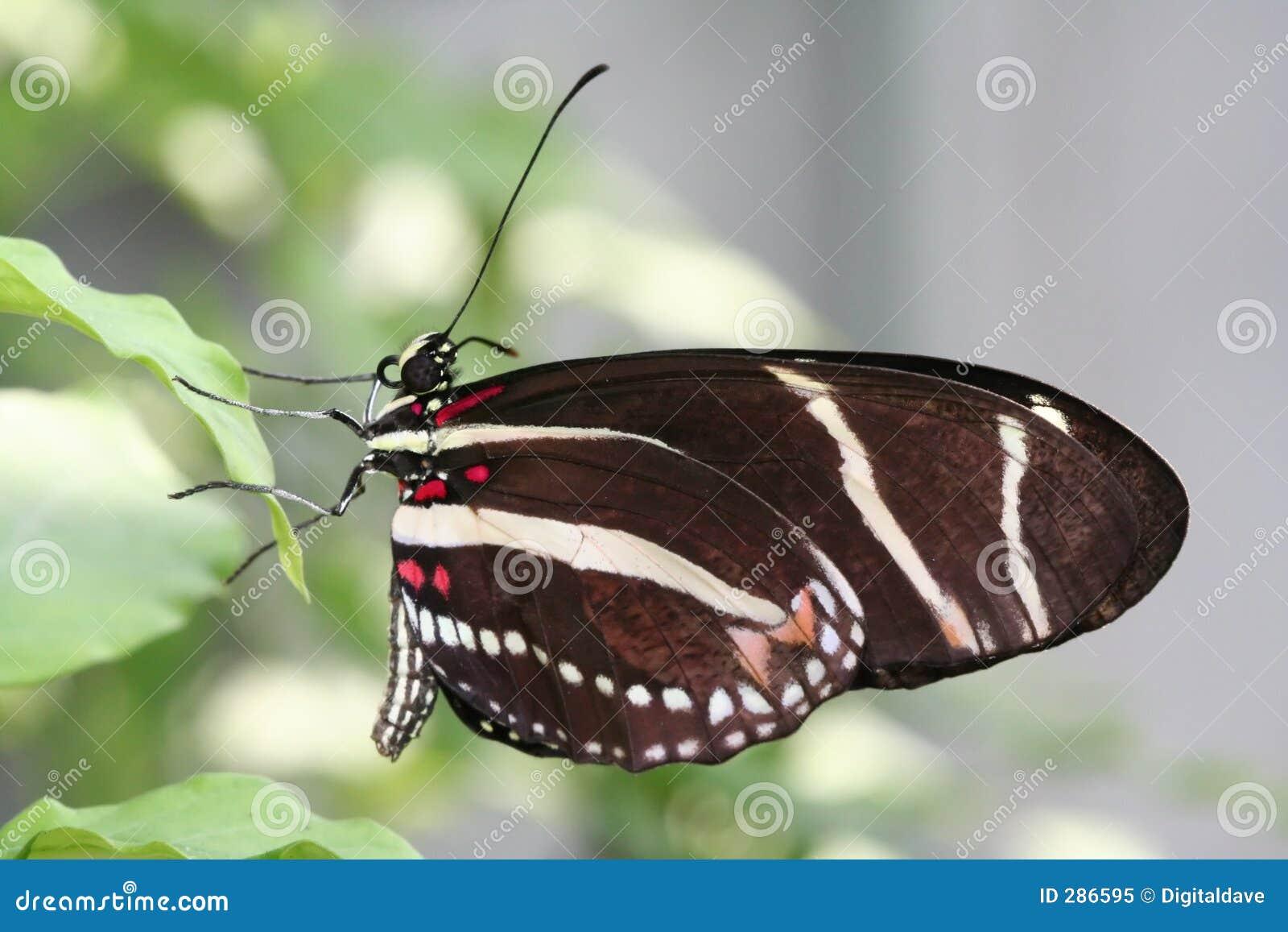 Longwing makrosebra