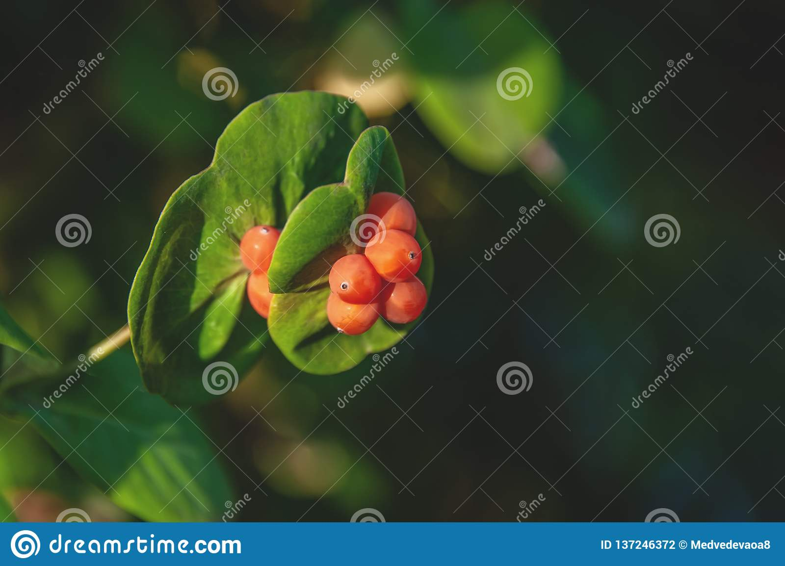 Lonicera Caprifolium, The Italian Woodbine, Perfoliate Honeysuckle