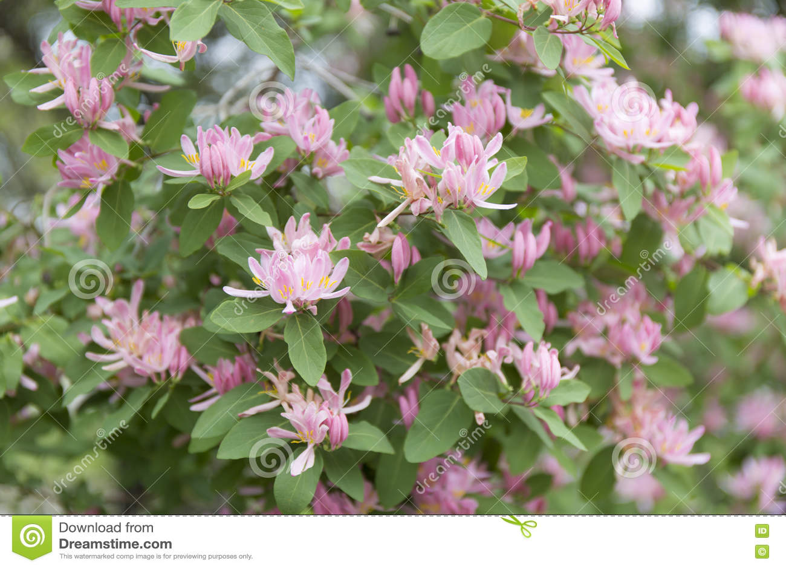 Lonicera tatarica pink flowers background english name tatarian lonicera tatarica pink flowers background english name tatarian honeysuckle mightylinksfo