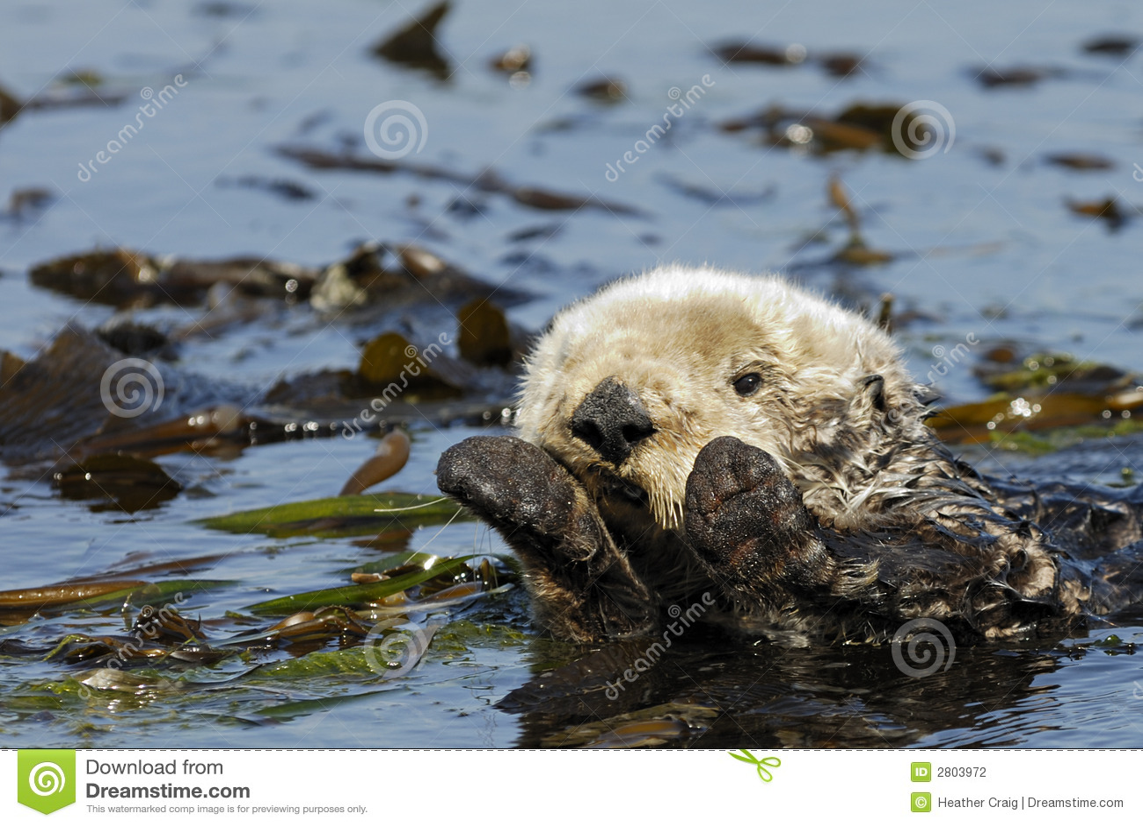 Lontra de mar de Califonia